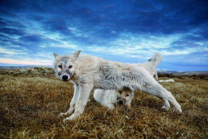 Un louveteau de 12semaines s'étire, aprèss'être rassasié de la dépouille d'un bœuf musqué. Désormais assez grands ...