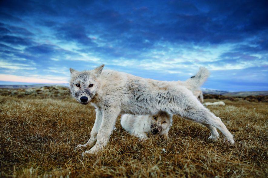 Un louveteau de 12semaines s'étire, aprèss'être rassasié de la dépouille d'un bœuf musqué. Désormais assez grands pour voyager, les louveteaux doivent encore grossir et apprendre les règles cruciales de la survie avant l'arrivée de l'hiver.