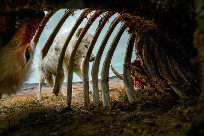 Des loups dévorent lesrestes d'un bœuf musqué. Pour obtenir cette image, Ronan Donovan, a installé un ...