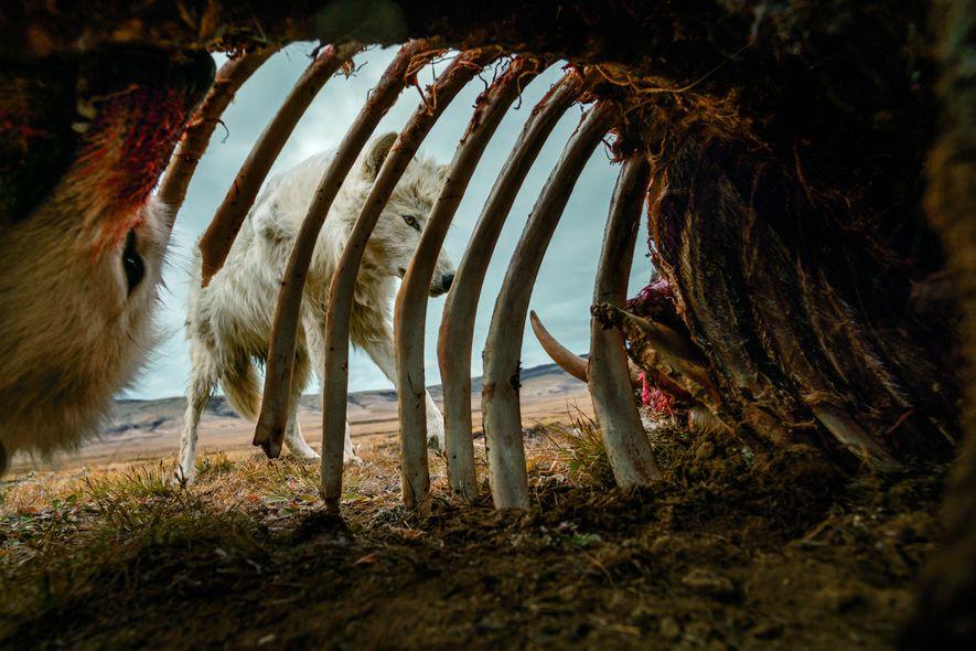 Des loups dévorent lesrestes d'un bœuf musqué. Pour obtenir cette image, Ronan Donovan, a installé un piège photographique àl'intérieur de la carcasse. La meute estrevenue se nourrir làpendant un mois.