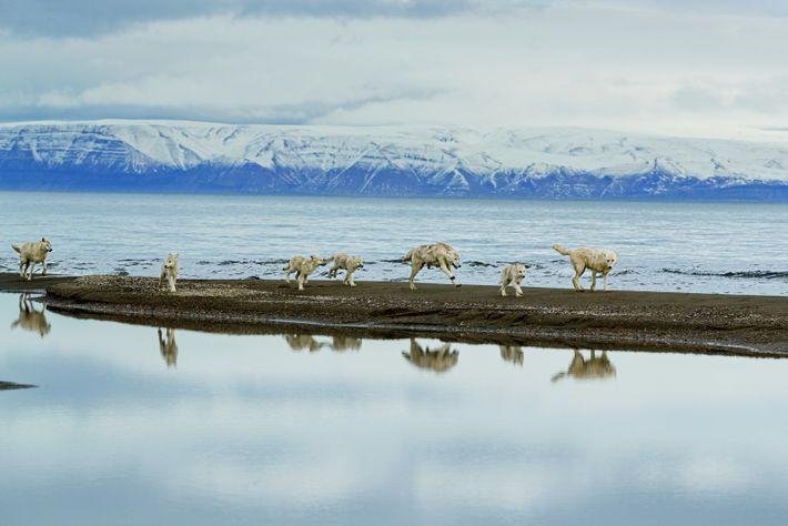 La meute recherche des bœufs musqués ou des lièvres arctiques dans lefjord Greely. En hiver, celui-ci ...