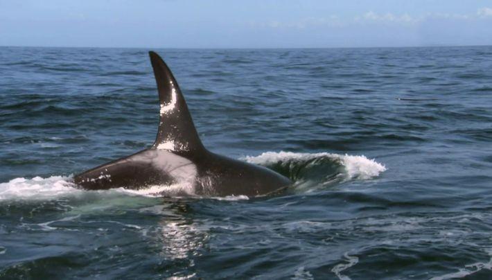 L'orque d'amérique