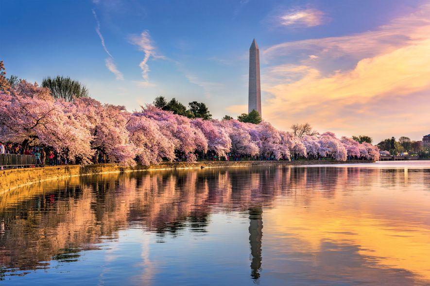 À chaque printemps, les sakuras, des cerisiers du Japon, offrent un spectacle de rose autour du ...