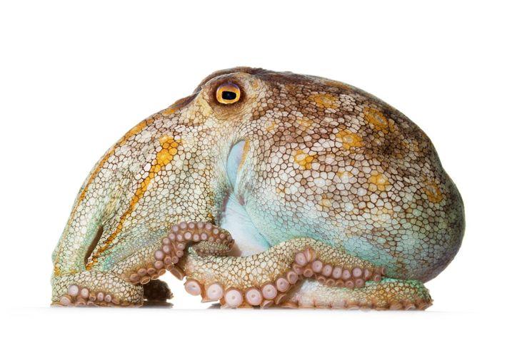Avec son gros corps et ses bras courts, le poulpe pâle (Octopus pallidus) vit dans les ...