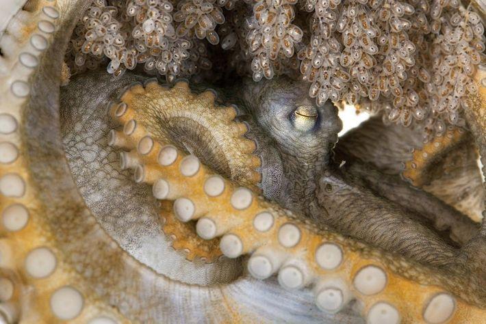 Cette femelle - d'une espèce qui n'a pas encore été documentée - s'occupe de ses œufs. ...