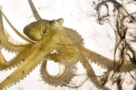 Découverte de la plus grande nurserie de pieuvres au monde