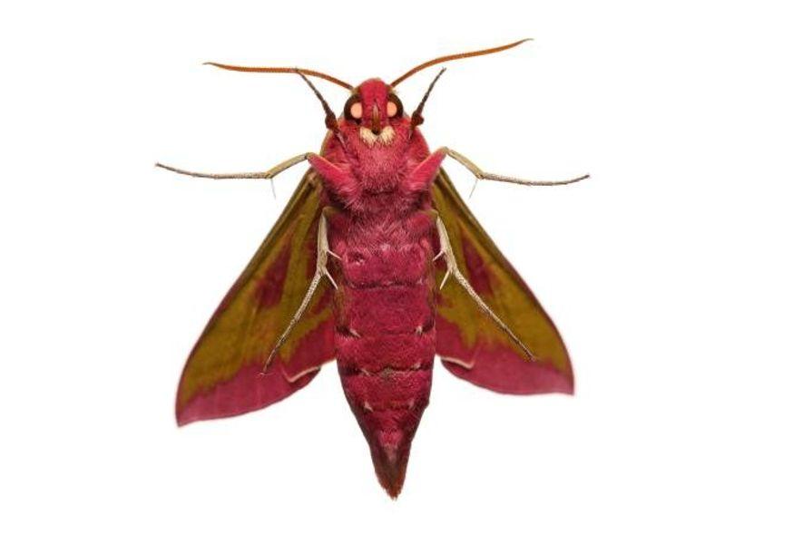 Voyeur nocturne - Les yeux du grand sphinx de la vigne (Deilephila elpenor), un papillon nocturne, ...