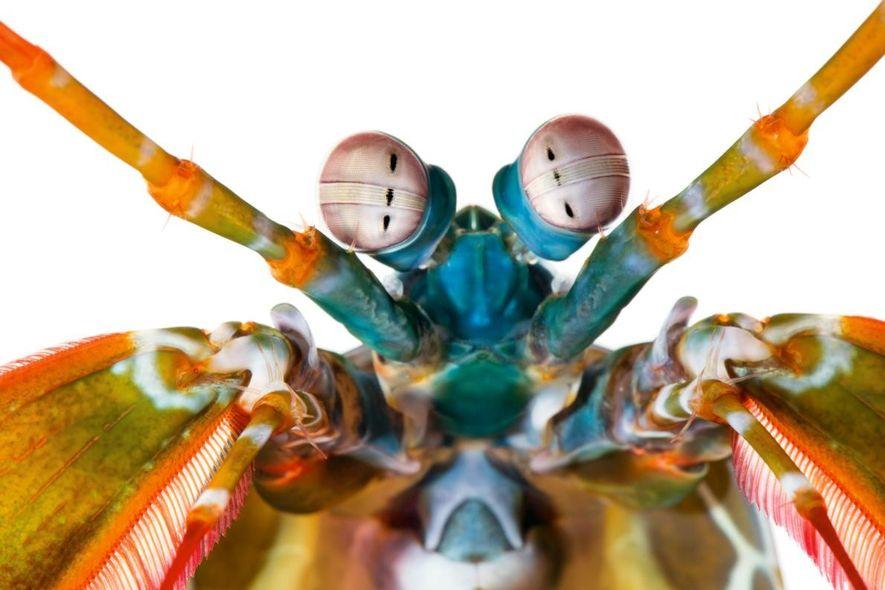 Couleurs profondes - Odontodactylus scyllarus, une crevette-mante, possède douze récepteurs de couleurs (trois chez l'humain). Ses ...