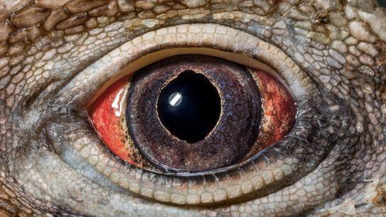 L'œil de l'iguane terrestre de Cuba (Cyclura nubila nubila) révèle un ressort fondamental de l'évolution: la ...