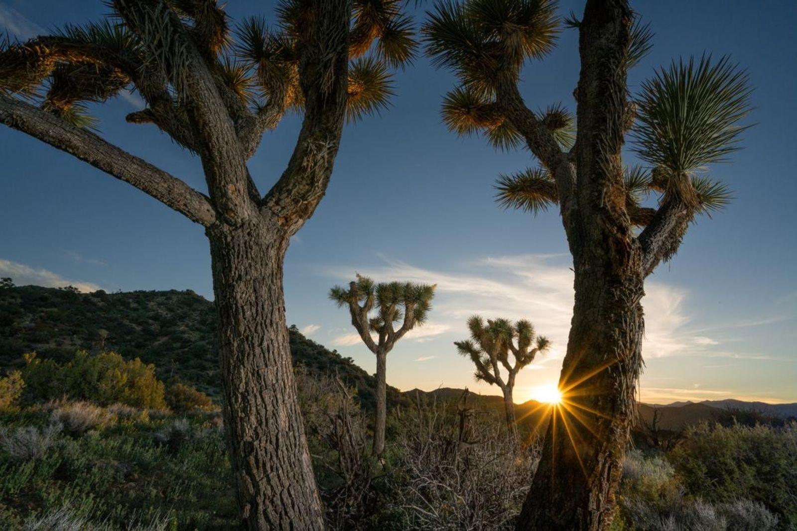 Jusqu'à la fin de l'ère glaciaire, les arbres de Josué ont grandi dans le sud-ouest des ...