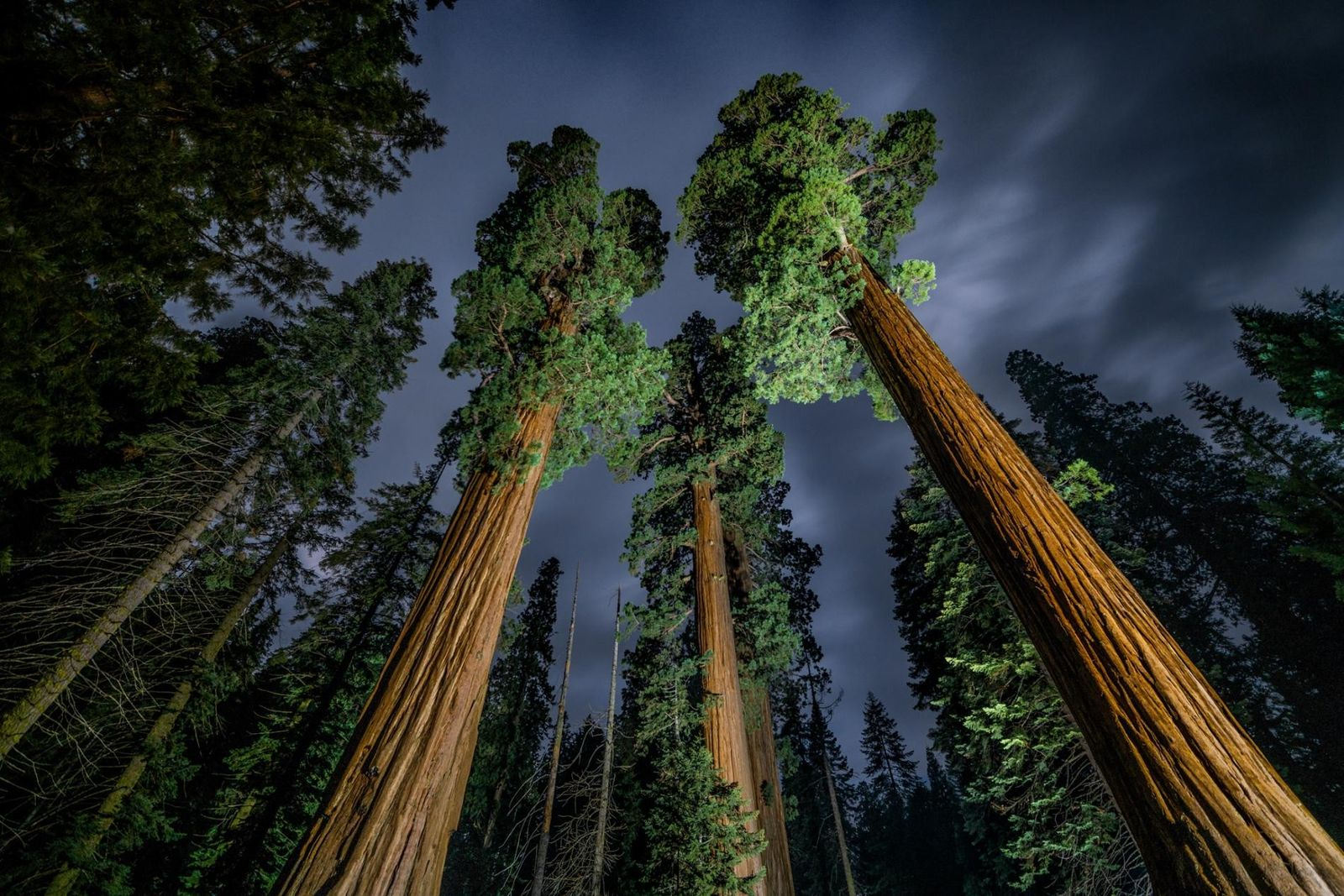 Des séquoias géants se détachent sur le ciel nocturne de la Sierra Nevada. La sécheresse historique ...