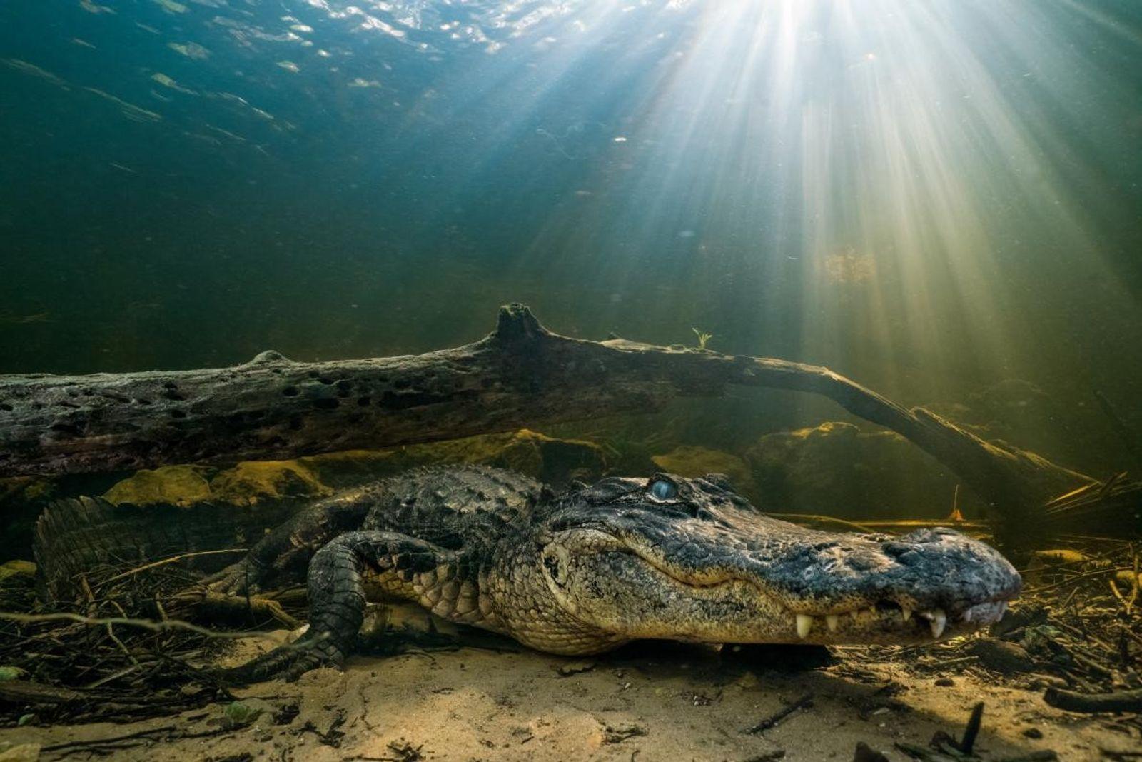 Un alligator d'Amérique est à l'affût au fond d'un marécage de cyprès chauves, dans le nord ...