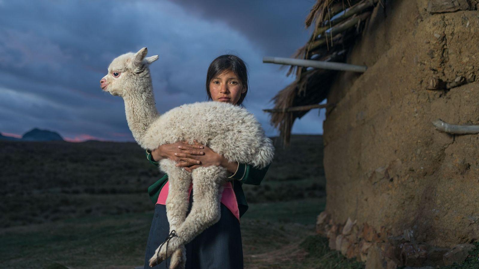 Danila, 14 ans, tient un petit alpaga, près de Huaylillas, dans les hautes terres du nord ...