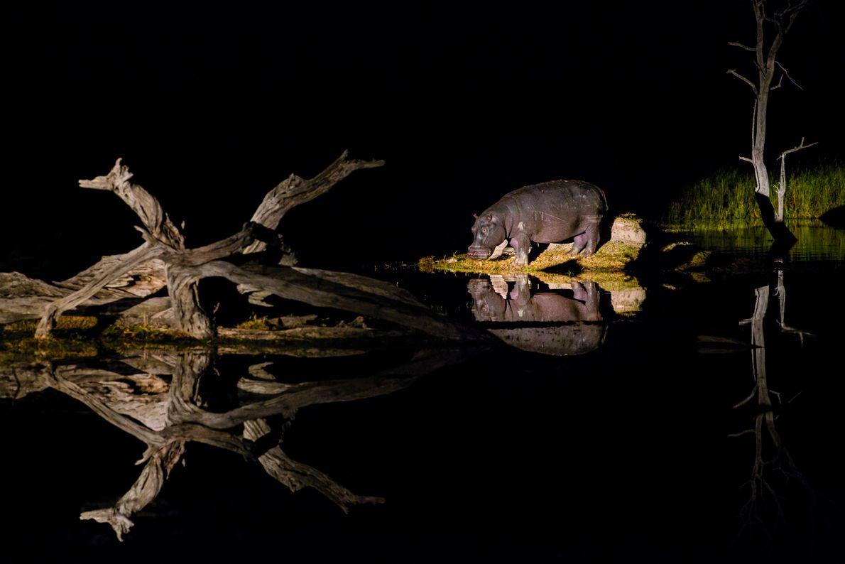 Les hippopotames sont nombreux dans le delta et dans les rivières qui l'alimentent. Ils paissent durant ...