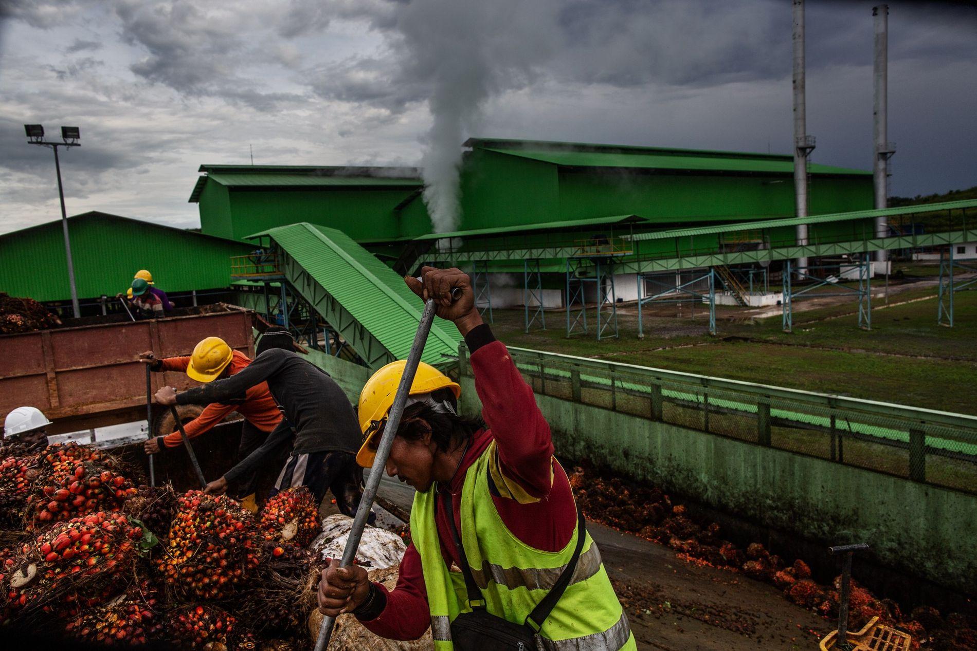 Dans l'ouest du Gabon, le géant agro-industriel singapourien Olam a ouvert deux nouvelles plantations de palmier à huile, chacune avec sa propre huilerie. La forêt couvre les trois quarts du pays. Les autorités veulent développer l'agriculture commerciale, mais sans les atteintes à l'environnement que l'Asie du Sud-Est a connues.