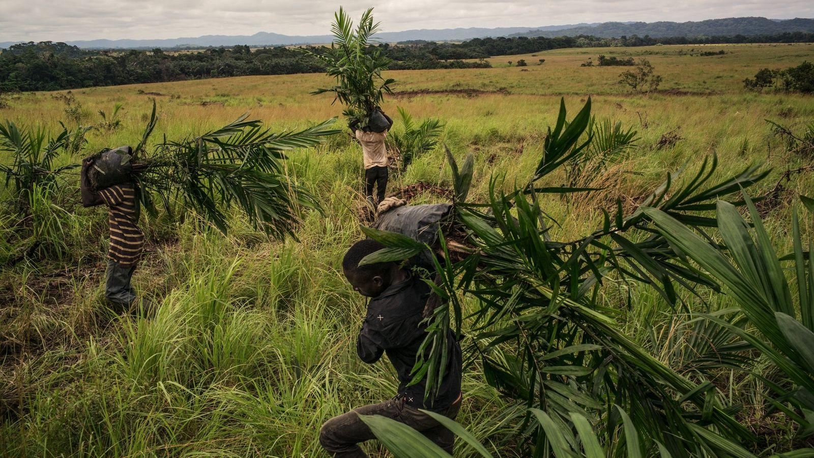 La savane occupait naguère plus de la moitié de la plantation de Mouila (gérée par Olam), ...