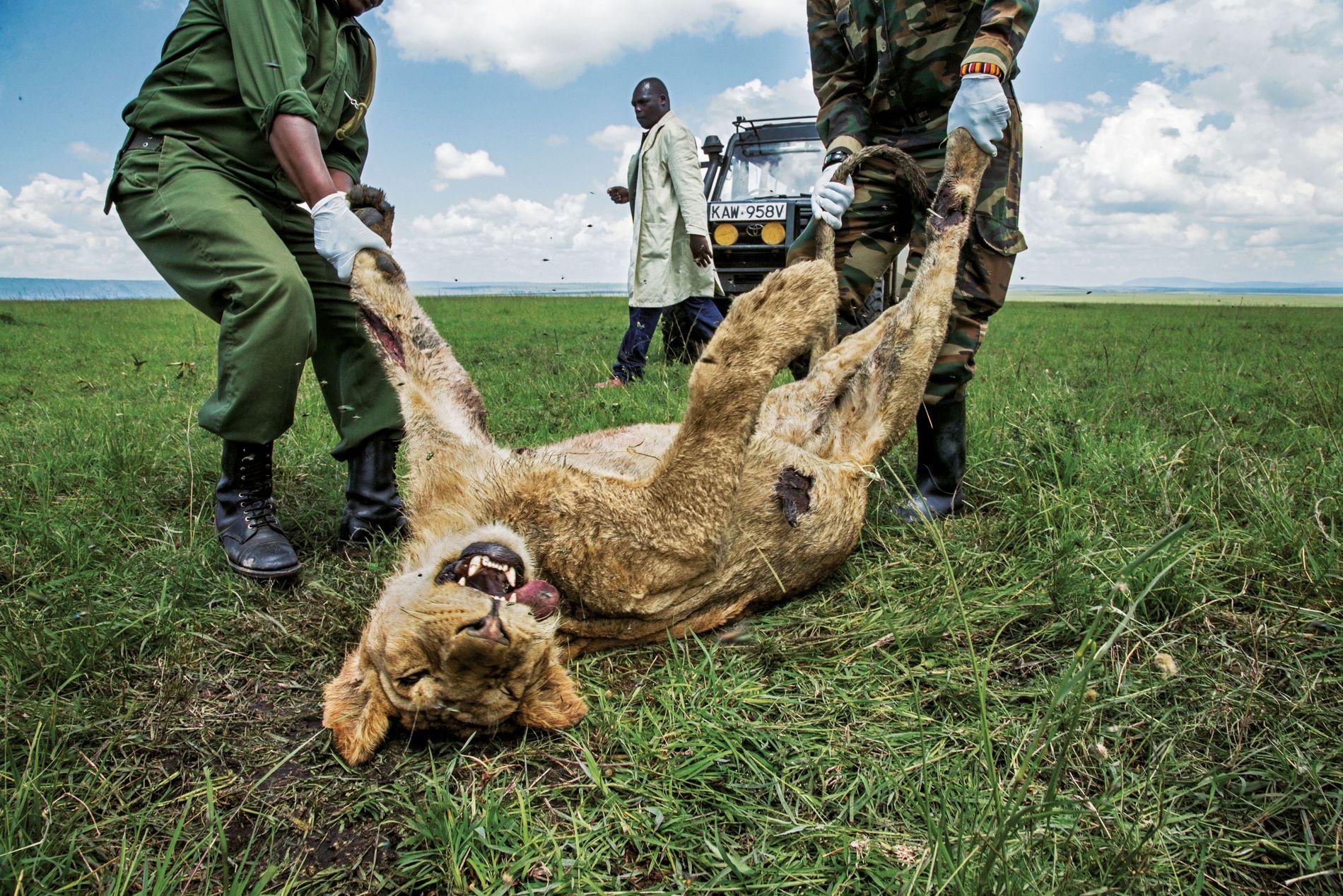 Ce jeune mâle est l'un des trois lions de la troupe du Marais morts en 2015 ...