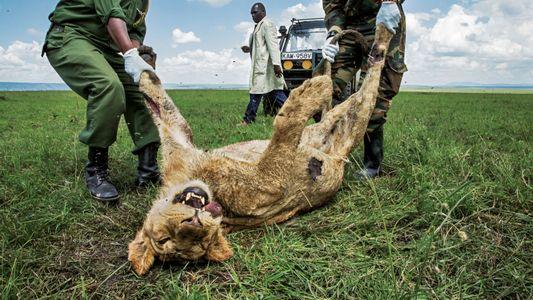 Kenya : Comment des ONG veulent sauver les grands fauves de l'empoisonnement
