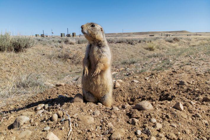 Un chien de prairie guette d'éventuels prédateurs, à Jonah Field (Wyoming). Avant de devenir un champ ...