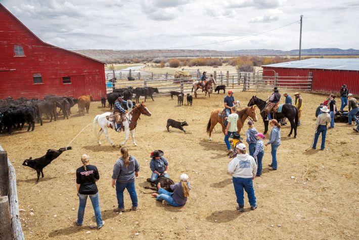 Les employés du ranch Barney, près de Big Piney (Wyoming), rassemblent et marquent les jeunes veaux. ...