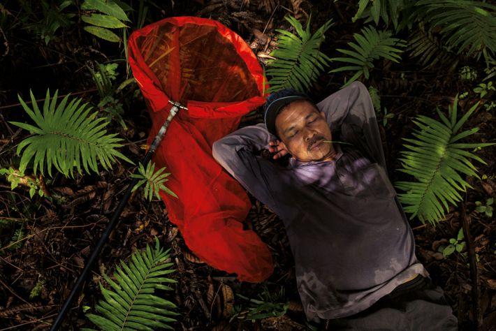 De décembre à mars, Baco Bugis parcourt des centaines de kilomètres pour traquer les papillons au ...
