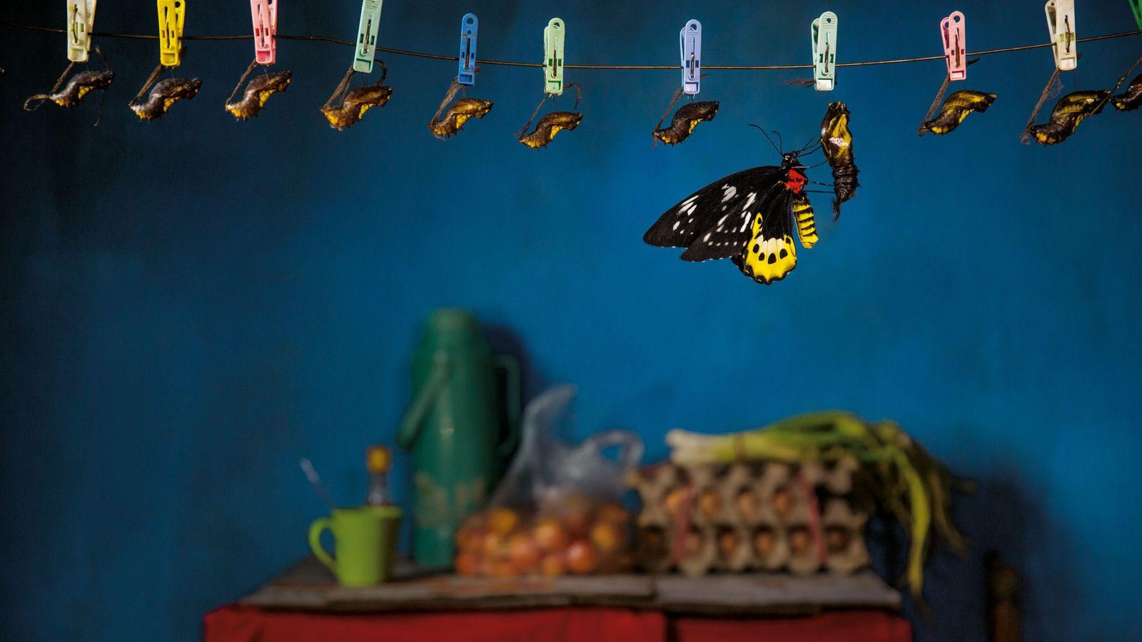 Un ornithoptère goliath éclot dans la cuisine d'une maison d'hôtes de Papouasie occidentale, en Indonésie. Les ...
