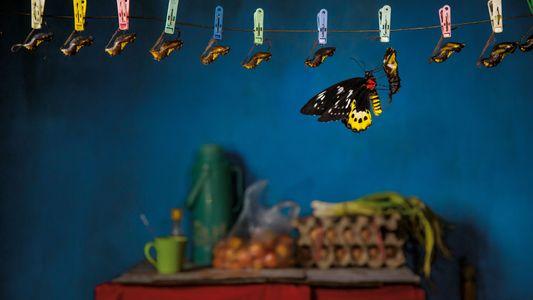 Indonésie : la traque aux papillons