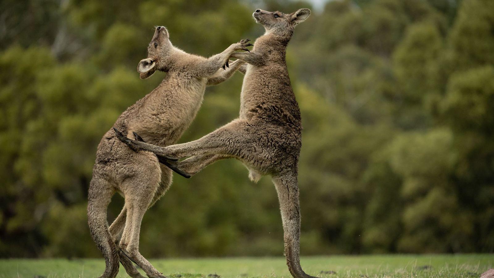Deux jeunes mâles s'affrontent dans le parc national des Grampians (État de Victoria, Australie). L'image d'un ...