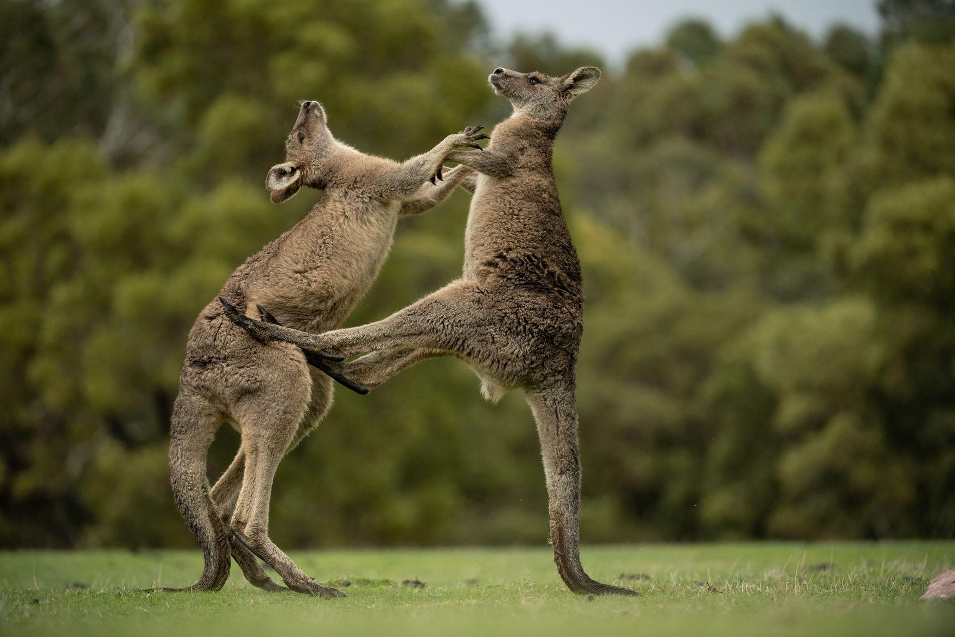 Deux jeunes mâles s'affrontent dans le parc national des Grampians (État de Victoria, Australie). L'image d'un kangourou en train de « boxer » est apparue pour la première fois dans une bande dessinée de 1891, inspirée par des démonstrations opposant l'homme au kangourou. Photographie parue dans le numéro 233 du magazine National Geographic (février 2019).