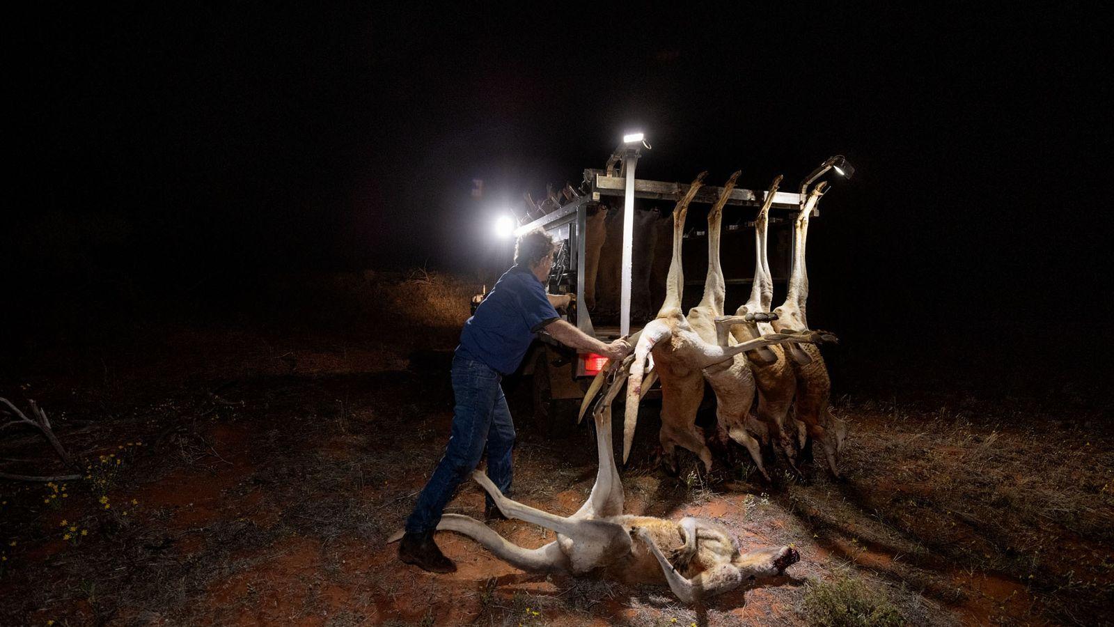 Chasseur professionnel, Peter Absalom apprête les kangourous roux qu'il a tués près de Mulyungarie Station (Australie-Méridionale). ...