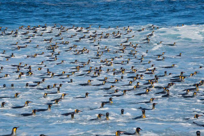 Rentrant pour la plupart d'une chasse en mer vers l'île Marion,ces manchots royaux se rassemblent près ...