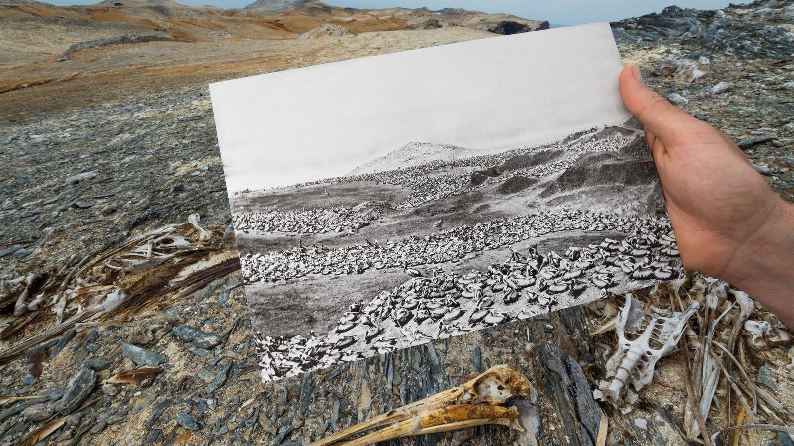 Sur les îles péruviennes Lobos de Afuera, un siècle de récolte du guano, de surpêche, puis ...