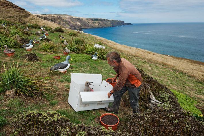 Les albatros des Chatham dépendent d'un seul site de nidification. Dave Boyle et le Chatham Islands ...