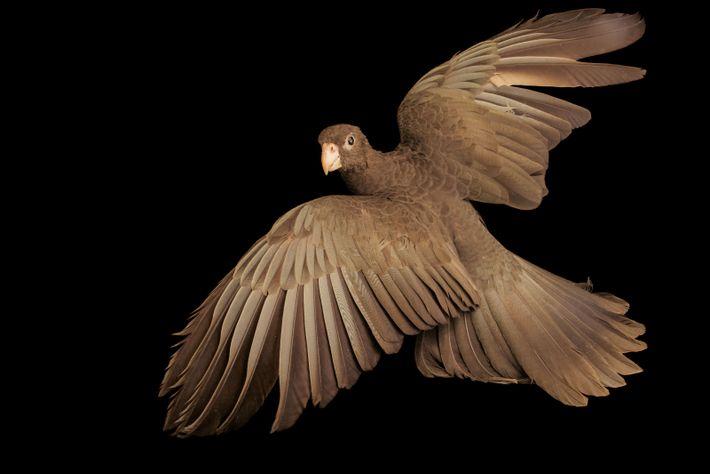 Les perroquets noirs femelles flirtent et s'accouplent avec de nombreux mâles. Le comportement de ceux de ...