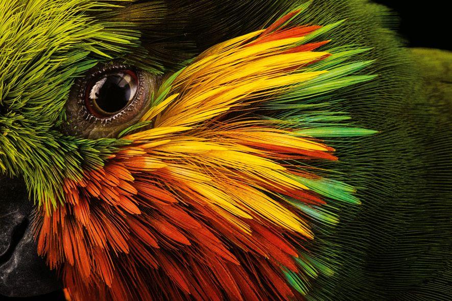 Reconnaissable à sa tête multicolore, le psittacule d'Edwards se nourrit de fruits, de nectar et sans ...