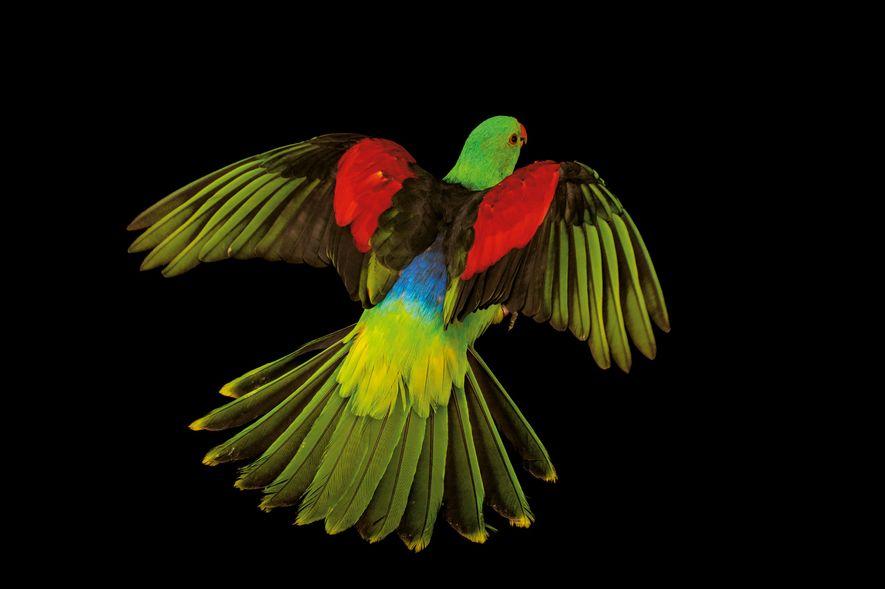 On trouve des perruches érythroptères en Australie, en Indonésie et en Papouasie Nouvelle-Guinée. Si les mâles ...