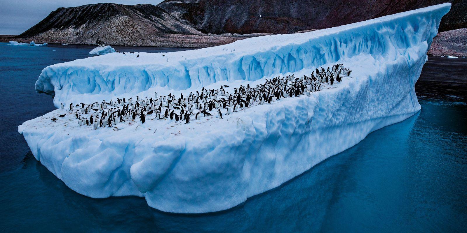 Le manchot Adélie, espèce emblématique de l'Antarctique, est menacé de disparition