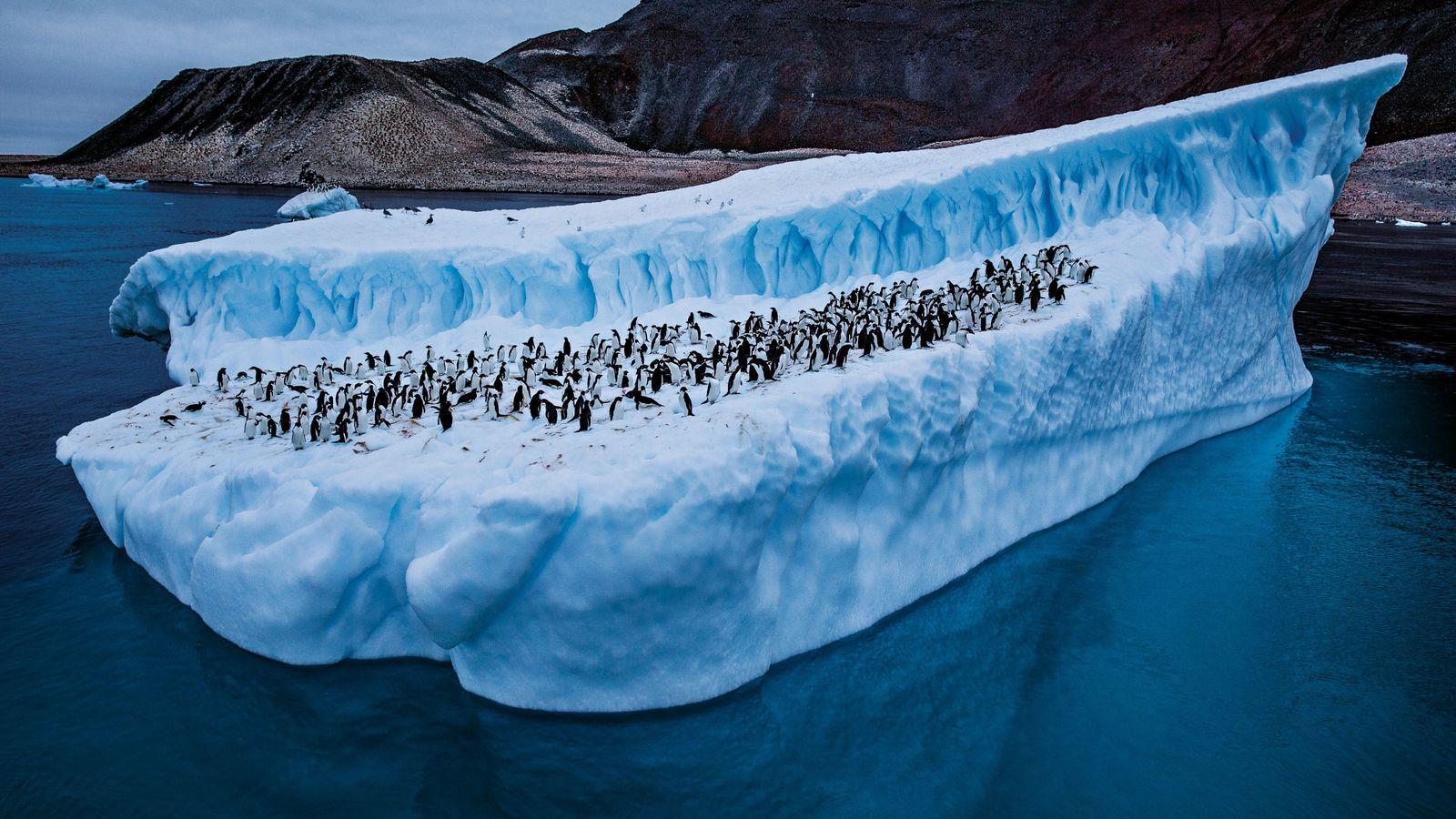 Avec le réchauffement des eaux, les populations de manchots Adélie (ici, devant l'île Paulet) ont diminué ...