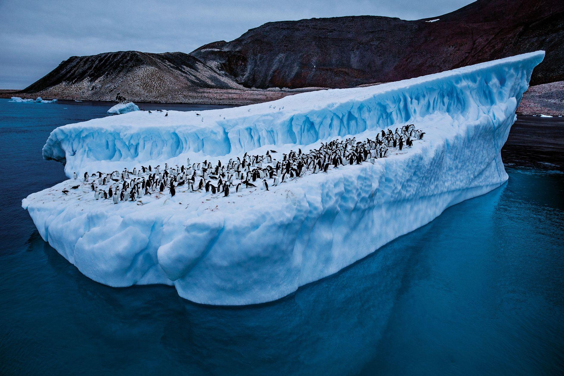 Avec le réchauffement des eaux, les populations de manchots Adélie (ici, devant l'île Paulet) ont diminué dans l'ouest de la péninsule Antarctique. Mais ils prospèrent à la pointe nord, plus froide grâce aux vents et aux courants marins.