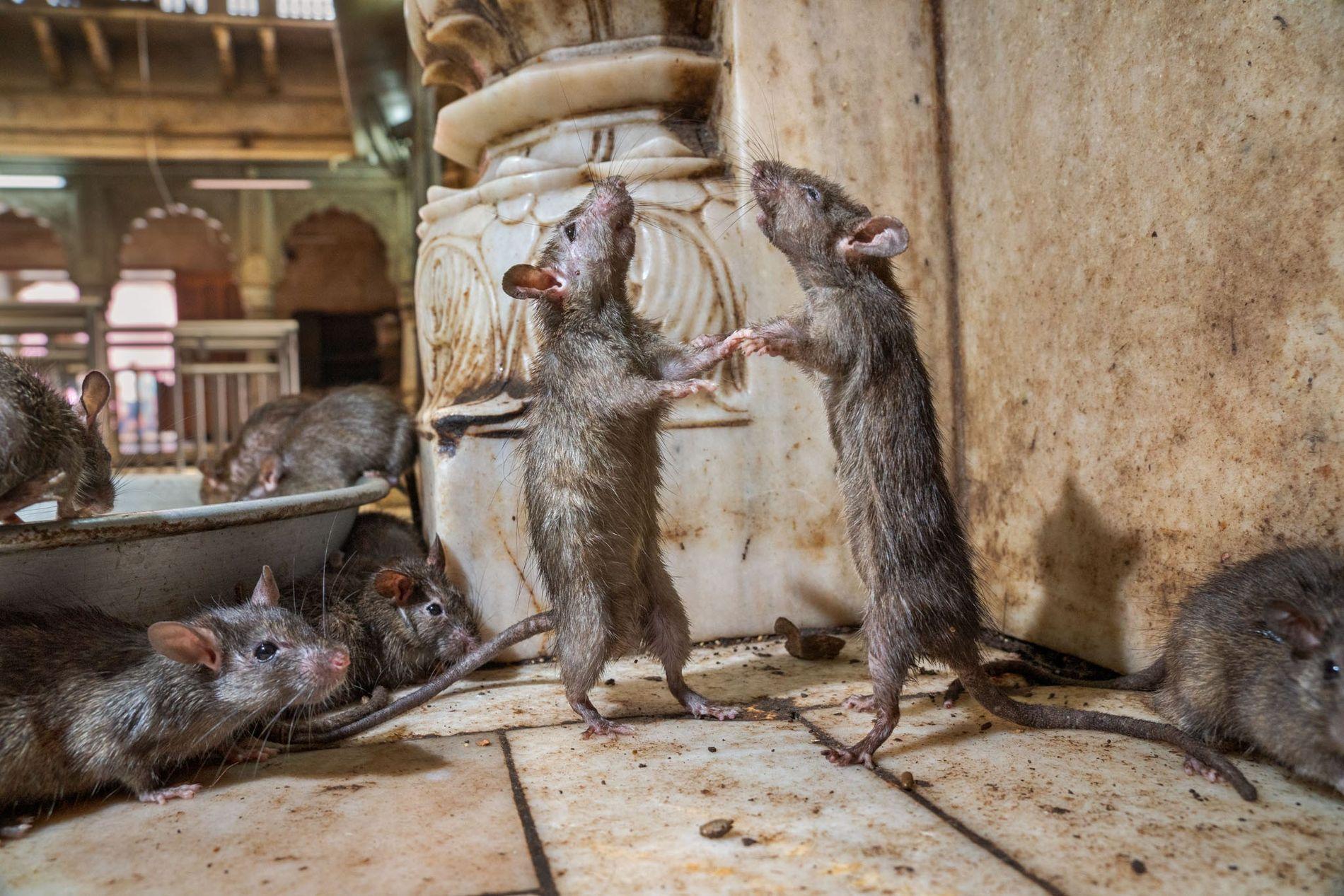Deux rats du temple de Karni Mata, au Rajasthan, en Inde, s'affrontent pour être le dominant. ...