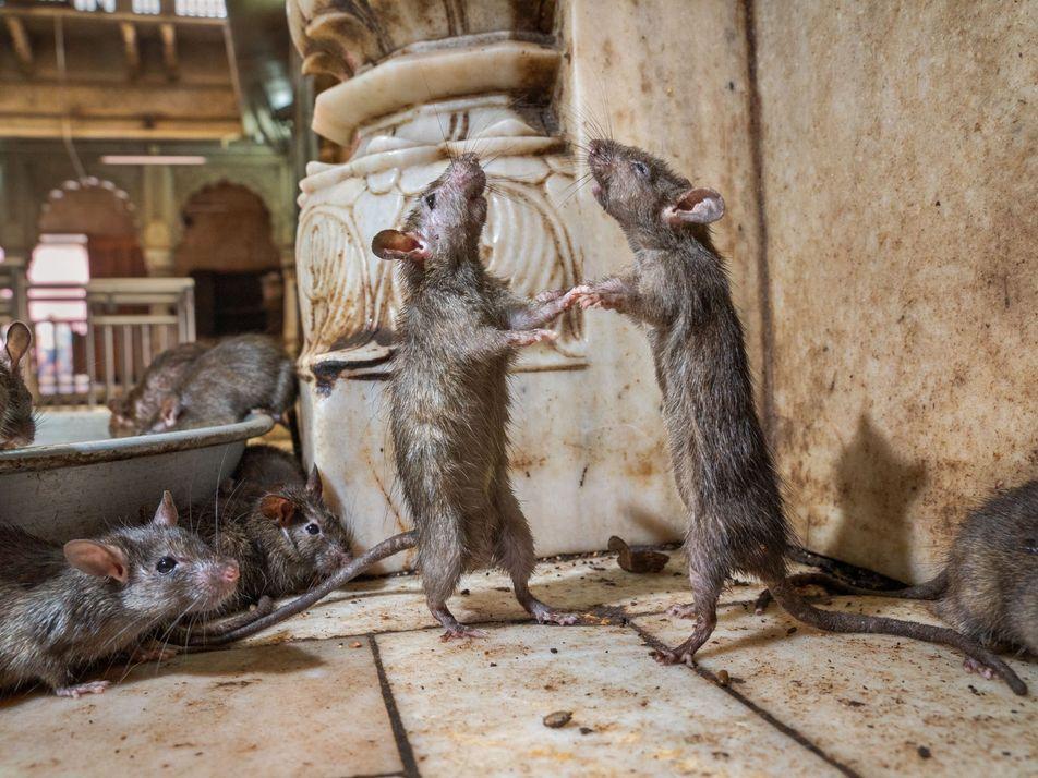 Les rats : nos plus proches voisins