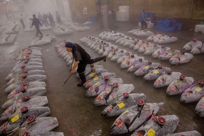 À Tsukiji, le plus grand marché aux poissons du monde, un employé dispose des thons surgelés ...