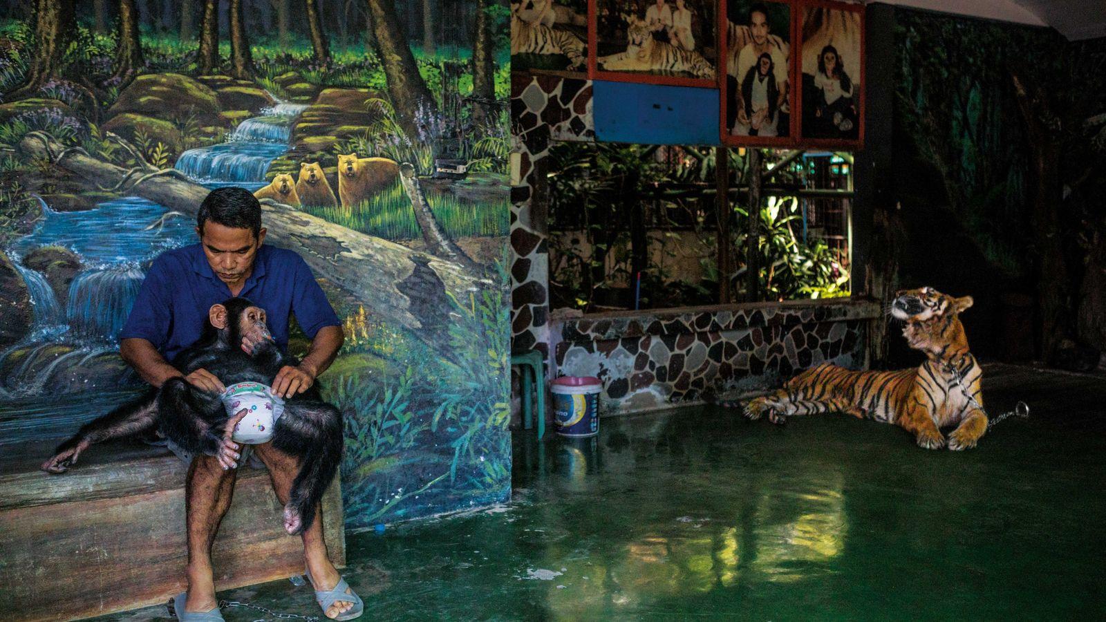 Un employé change la couche d'un jeune chimpanzé, avant de le réenchaîner, au zoo et à ...
