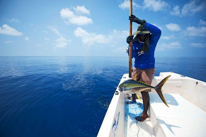 À l'arrière de son petit bateau, Asim remonte un thon jaune de 8 kilos. Une belle ...