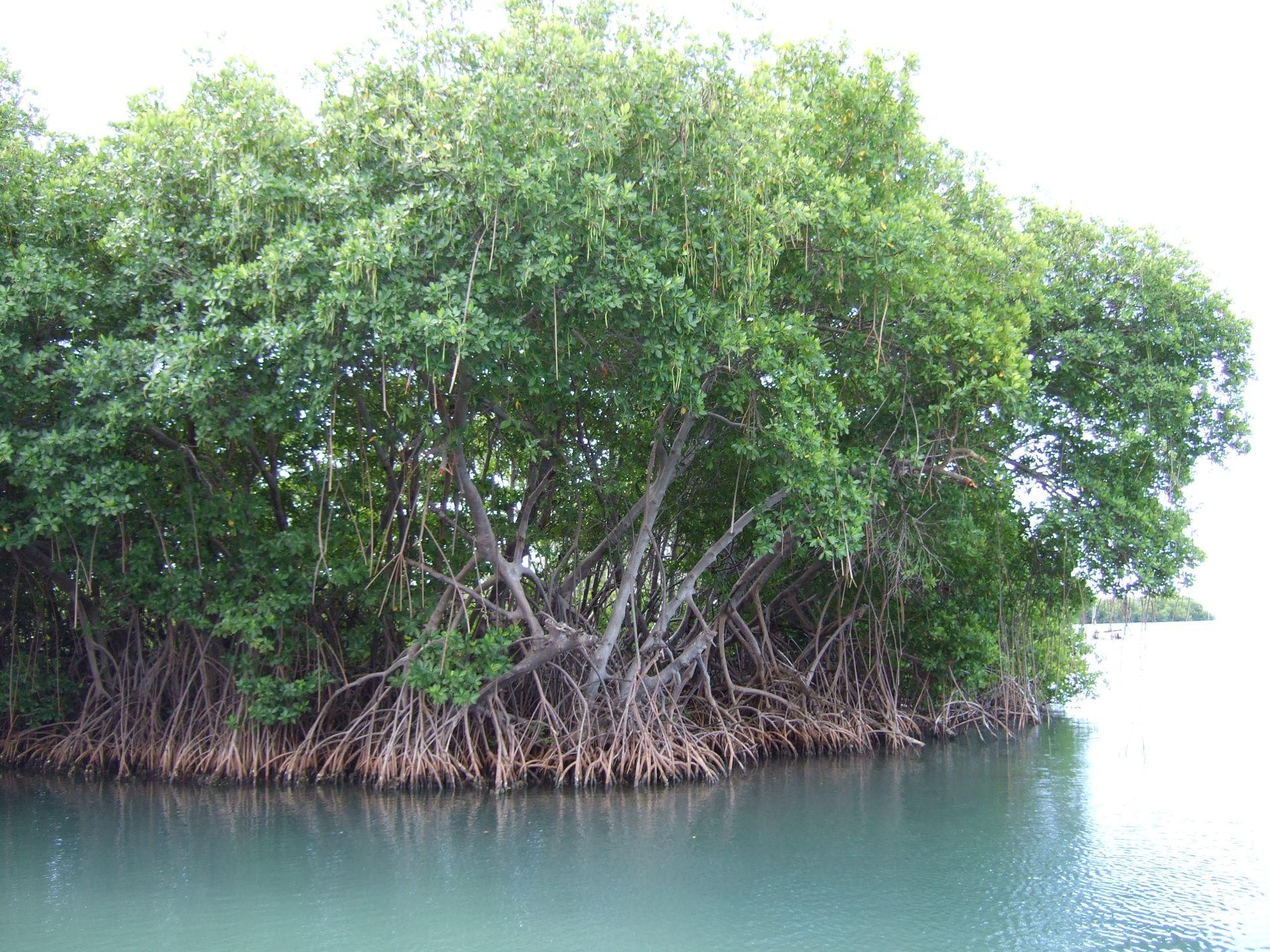 Des mangroves dans l'estuaire de Salinas, à Porto Rico.