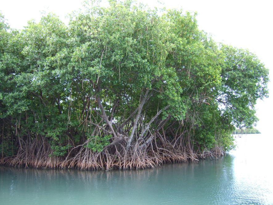 La mangrove, un précieux puits de carbone