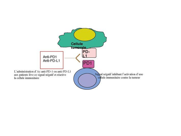 """Mécanisme d'action des anticorps ciblant les """"checkpoint inhibitors""""."""