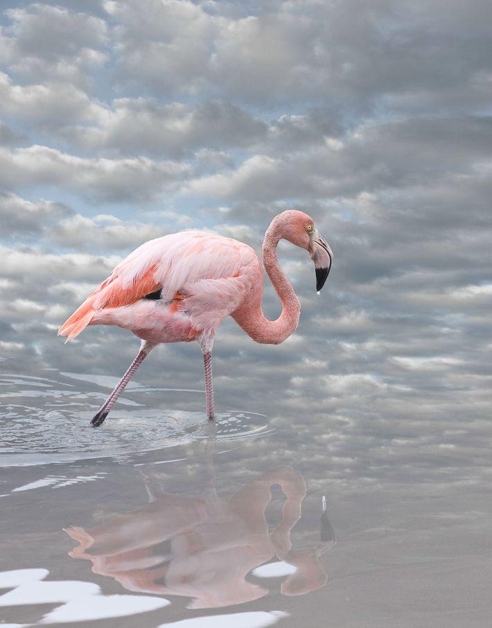 Flamant rose I   Ce flamant rose a été photographié sur l'île Isabela aux Galapagos dans un ...