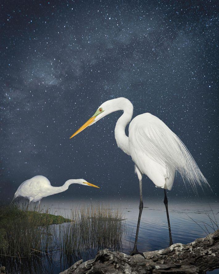 Grandes aigrettes, nuit étoilée  Ces aigrettes ont été photographiées à St Augustine en Floride et sur la ...