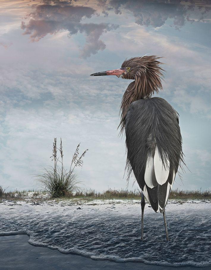 Aigrette roussâtre  Cet oiseau a été photographié au lagon de Little Estero, à Fort Myers Beach en ...